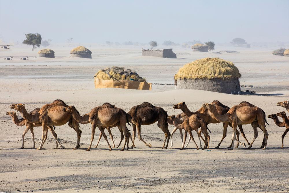Camels walking passed village