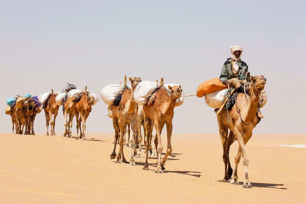Camel caravan transporting salt